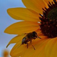 Пчелка и подсолнух :: Ольга Демченко