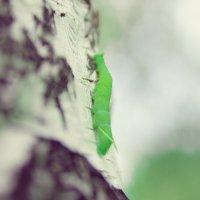 Гусеница :: Александр Апанасов