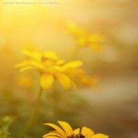солнечные цветы :: Дмитрий Барабанщиков
