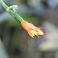 цветок кактуса :: Olga