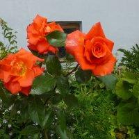 Розы :: Наиля