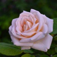Роза :: Денис Середа