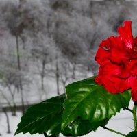 Зимняя роза :: Денис Середа