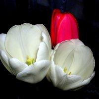 Тюльпаны :: Геннадий Храмцов