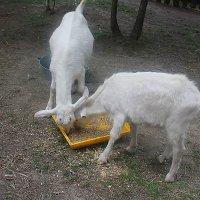 кормление коз :: Наталья Золотых-Сибирская