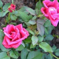 Розовые розы. :: zoja