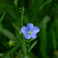 Просто голубой цветок :: Людмила