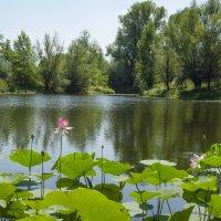 Цветение лотосов в пойме :: Олька Н