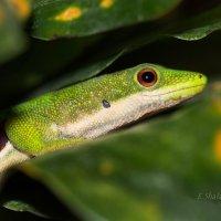 Четырёхглазковая фельзума - Phelsuma quadriocellata :: Евгений