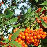 Яркие гроздья рябины :: Лидия (naum.lidiya)