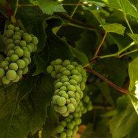 И лозу поцелую... и спелые гроздья сорву... :: juriy luskin