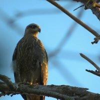 красивый и гордый птиц2 :: Денис Гладких