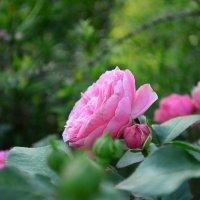 розовая роза :: Ольга Аникиева