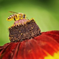 Пчелочка златая... :: Татьяна Губина