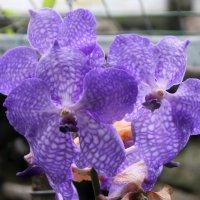 орхидеи2 :: Olga
