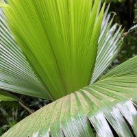 пальмовые листья :: Olga