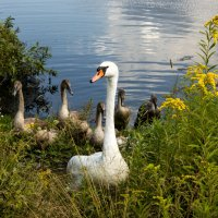 Лебеди :: Александра Гоголева