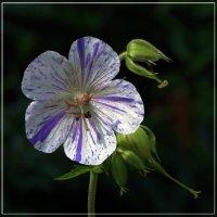 Ситцевый цветочек :: muh5257
