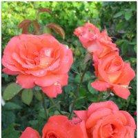 Утренние розы... :: Тамара (st.tamara)