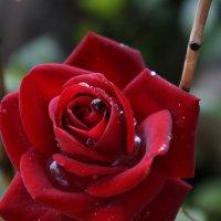 роза , сразу после дождя :: Сергей