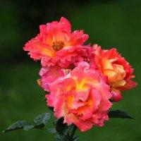 Розы :: Nikolay Monahov