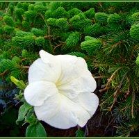 Атлас белого и бархат зеленого :: Лидия (naum.lidiya)