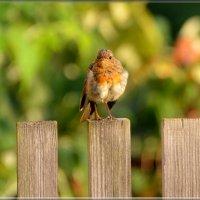 зарянка :: linnud