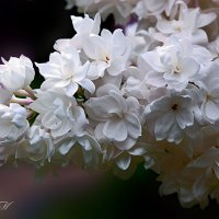Аромат весны :: Valentina - M