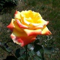 Роза с оттенком :: Миша Любчик