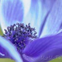 BLUE ANEMONE FLOWER :: Mikhail K'maiki