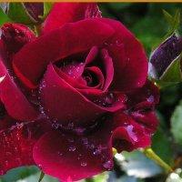 Роза. :: Анна