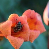 Слышь - пчела! Это мой цветок! :: Владимир Собянин
