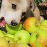 Сегодня ем только яблоки! :: Геннадий Ячменев