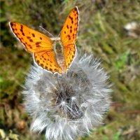 Бабочка и одуванчик! :: Наталья