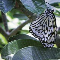 Бабочка Лесная Нимфа. :: Барбара