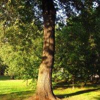 Дерево, освещенное вечерним солнцем IMG_5337 :: Андрей Лукьянов