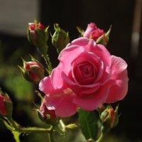 Милая роза :: Ирина Шершнева