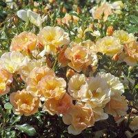 Розы сорта KNIRPS.(W.Kordes' Sohne, 1997) :: Ирина