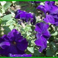 Фиолетовая петуния :: Domna Kuznechic