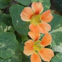 Оранжевая настурция :: Domna Kuznechic