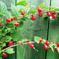 Войлочная вишня. :: zoja