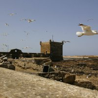 Чайки Ессувейры. :: Светлана marokkanka