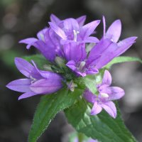 Лесной цветок :: Марина Мишутина