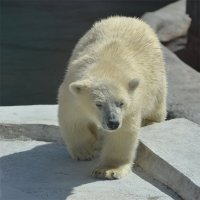 Белый медведь :: Bespalevniy