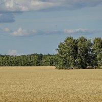 Хлебное поле #1 :: Виктор Четошников