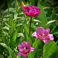 Тюльпаны :: Наталия Короткова