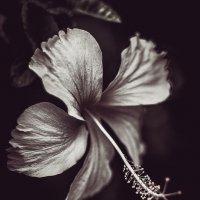 Таинственный цветок :: Ксения Базарова