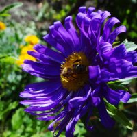 Астрочка с пчёлкой. :: Антонина Гугаева