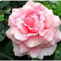 Розовая свежесть... :: Тамара (st.tamara)