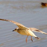 чайка :: Олег Петрушов